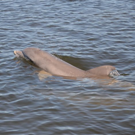Bottlenose Dolphin in St. Augustine